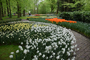 Картинка Нидерланды Парки Нарциссы Тюльпаны Keukenhof Природа