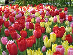 Фотографии Нидерланды Парки Много Тюльпаны Keukenhof