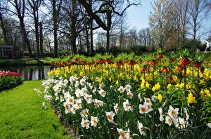 Обои Нидерланды Парки Весенние Нарциссы Рябчик Keukenhof Природа
