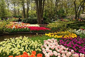 Фото Нидерланды Парки Весенние Тюльпаны Нарциссы Keukenhof Природа