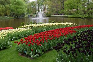 Картинки Нидерланды Парки Весенние Тюльпаны Пруд Много Keukenhof Природа