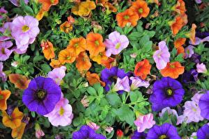 Фотографии Петунья Много Вблизи Цветы