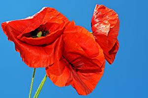 Картинка Мак Крупным планом Цветной фон Красных цветок