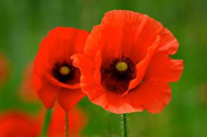 Картинка Мак Вблизи Красные цветок