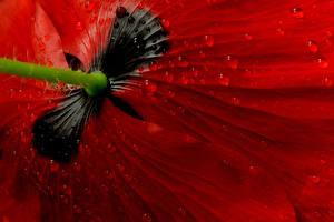 Фотографии Маки Макросъёмка Вблизи Красная Капельки Цветы