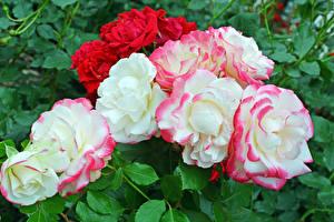 Фотография Розы Вблизи Цветы