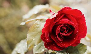 Картинка Розы Вблизи Капля Красных цветок