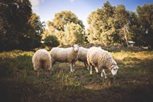 Обои Овцы Луга Трава Животные