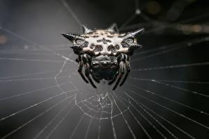 Фотография Пауки Крупным планом Паутине Gasteracantha Животные