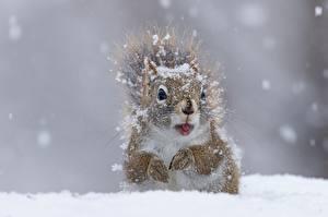 Фотография Белки Вблизи Снег Животные