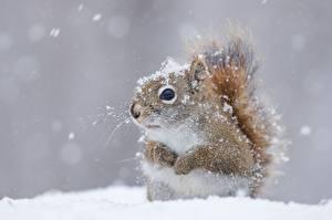 Картинки Белки Вблизи Снег Животные