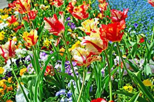 Картинка Тюльпаны Вблизи Цветы