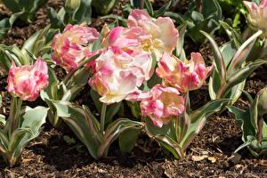 Фото Тюльпаны Вблизи Почва Цветы
