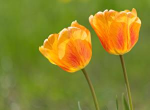 Картинка Тюльпаны Крупным планом Желтый Вдвоем