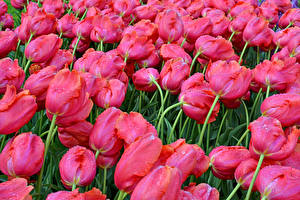 Обои Тюльпаны Много Вблизи Розовый Цветы