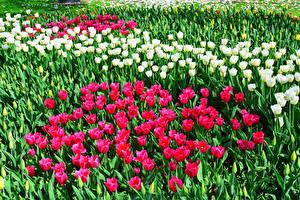 Фото Тюльпаны Много Бутон