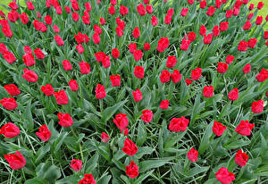 Картинка Тюльпаны Много Красный Цветы