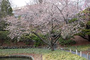 Обои Штаты Парки Цветущие деревья Brooklyn Botanic Garden Природа