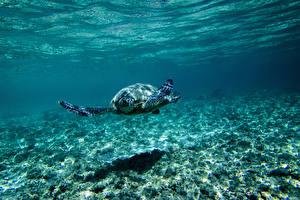 Обои Подводный мир Черепахи