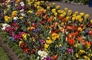Фотографии Великобритания Парки Тюльпан Первоцвет Много Swansea Botanic Gardens Wales Цветы