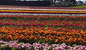 Фотография Австралия Поля Весенние Тюльпаны Много Tasmania Цветы