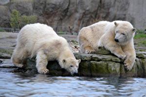 Фотография Медведи Белые Медведи Вода Двое
