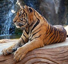 Картинки Большие кошки Тигры Лапы