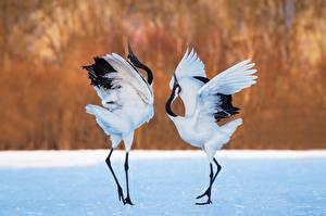 Обои Птицы Цапля Двое Танцы животное