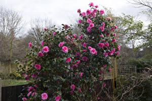 Фотография Камелия Кусты Розовый Цветы