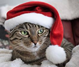 Фотографии Коты Рождество Шапки Смотрит Животные