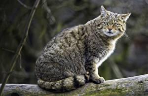 Картинки Коты Недовольство Животные