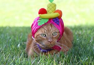 Фотография Кошка Взгляд Шапки Смешная животное