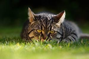 Фотографии Коты Трава Взгляд Животные