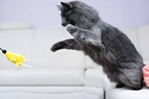 Обои Коты Мейн-кун Серый