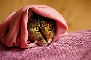 Фотографии Кошки Полотенце Взгляд Животные