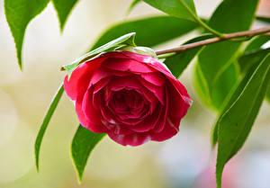 Фотографии Вблизи Камелия Ветвь Красный Цветы