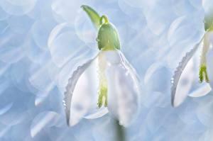 Картинка Крупным планом Макросъёмка Подснежники цветок