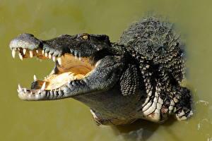Картинка Крокодилы Зубы Животные