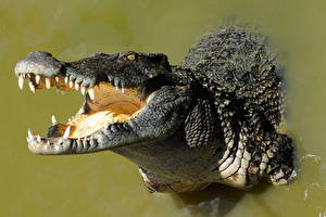 Картинка Крокодил Зубы
