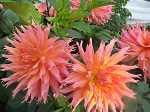 Картинки Георгины Крупным планом Розовый цветок