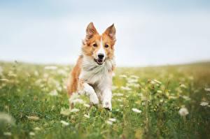 Обои Собака Бордер-колли Траве Бег Животные