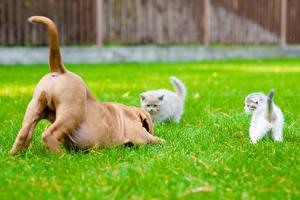 Фотография Собака Коты Котят Бордоский дог Трава Три Хвоста животное