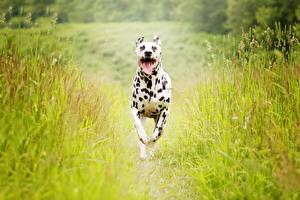 Обои Собака Бег Далматин Траве Животные