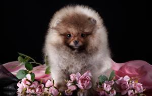 Картинка Собаки Шпиц Пушистый Животные