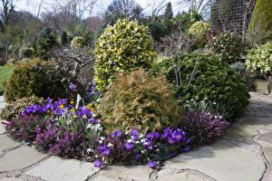 Обои Англия Сады Весна Крокусы Кусты Walsall Garden Природа картинки