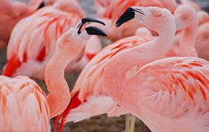Фото Фламинго Птицы Клюв Розовый Животные
