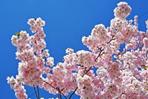 Картинки Цветущие деревья Весенние Цветной фон Ветвь