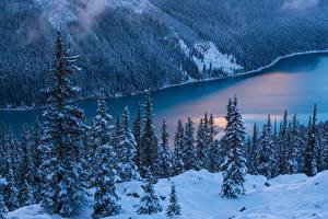 Фото Леса Канада Ель Деревья Банф Peyto Lake Природа