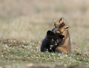 Фотография Лисы Детеныши Двое Черных животное