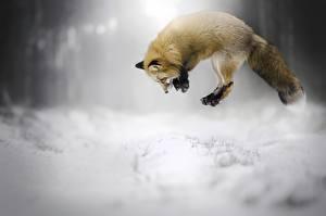 Обои Лисы Снег Прыжок Животные картинки